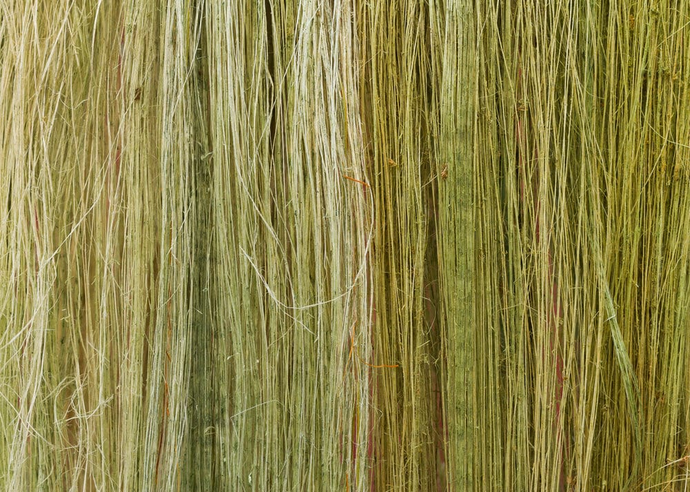 Flax Fibres drying out in the first process of being made into linen