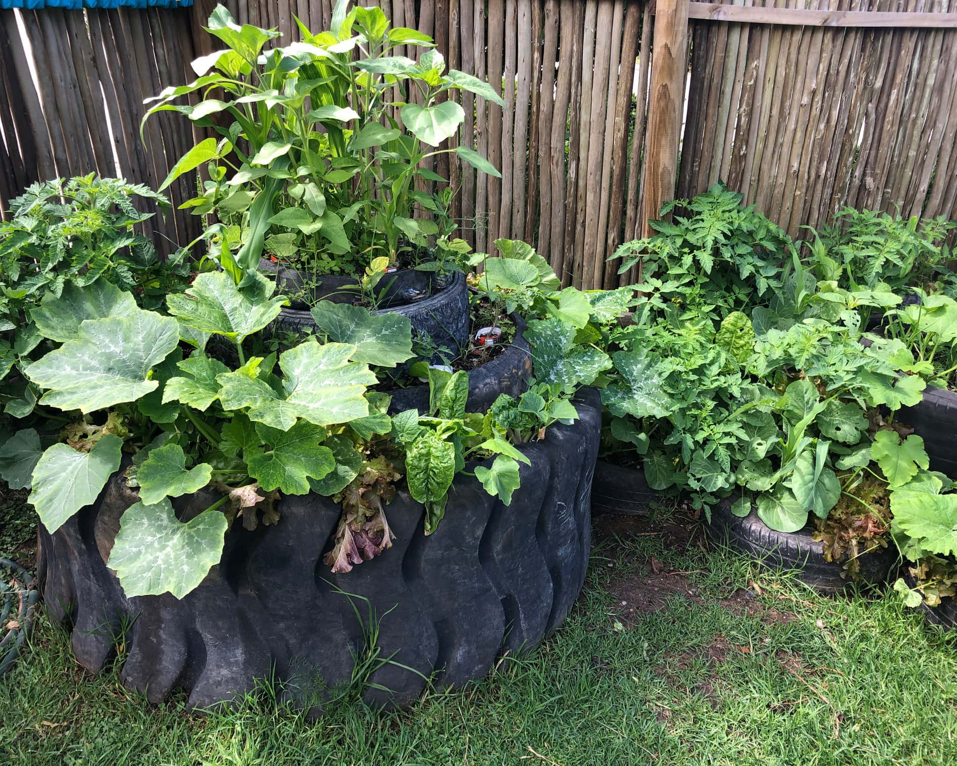 A flourishing tyre garden from the Mungo MOVE permaculture workshop